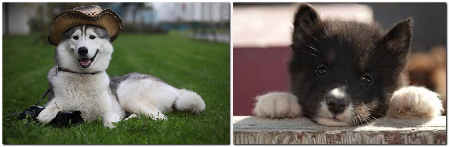 Dog breed Canadian Eskimo