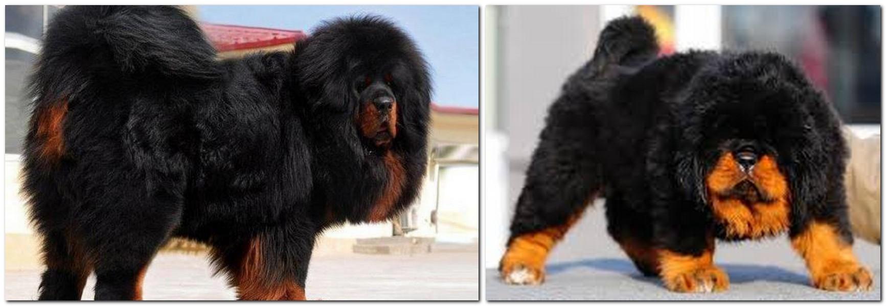 Dog breed Tiberian Mastiff